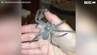 Un ragno gigante cammina indisturbato sul suo braccio