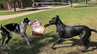 Great Danes deliver box full of Christmas gifts