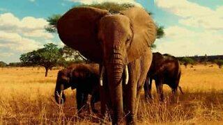 Wild elephant obeys safari guide's orders
