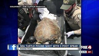 Sea turtle found with spear through him on Key Largo