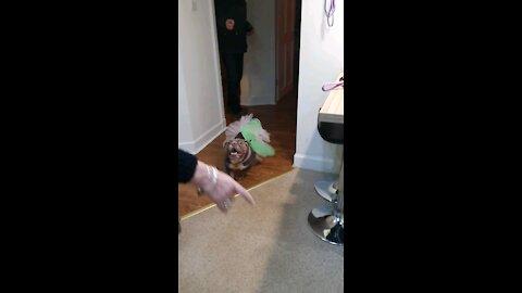 Bulldog Fairy on Christmas Eve