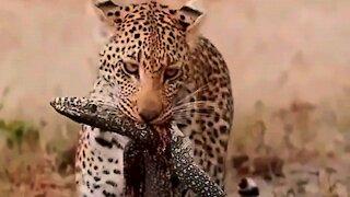 Wild animal attacks lizard caught on camera
