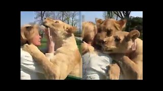 Lion duo reaction when reunited with their former caretaker