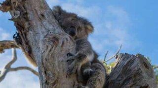 Menina chora pelas vidas perdidas dos animais na Austrália