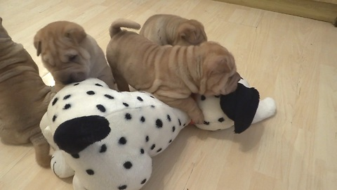 Shar Pei puppies love their new Dalmatian toy