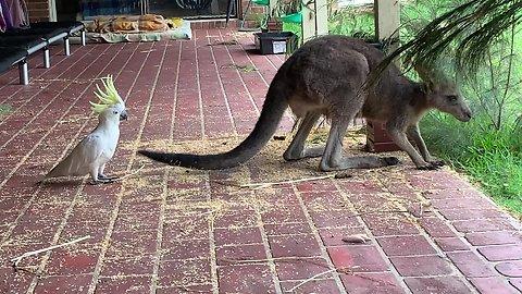 Greedy cockatoo chases off kangaroos for treats