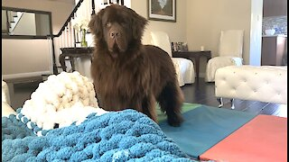 """Watch this huge Newfie's irresistible """"beg face"""""""
