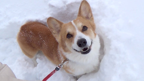 Corgi and Snow! run run run