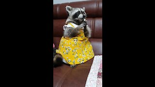 Raccoon wearing a dress eats a pear with his hands