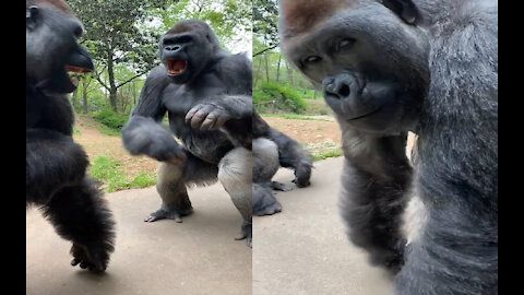 They are cute giant gorillas and then they wouldn't be 🦍🦍
