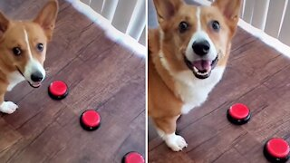 Corgi uses voice-activated button to ask for treats