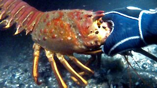 Extraordinary Catching of Giant Lobsters Underwater