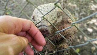 Adorable rescued armadillo wants to bond with her caretaker