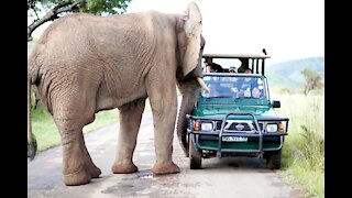 Elephant Attacks Car | Wild Animal Encounters