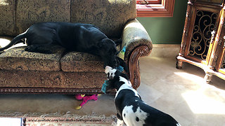 Growling Great Dane Puppy Loves to Play Tug of War
