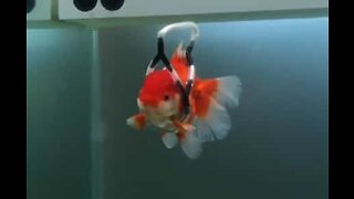 """Disabled goldfish swims with aid of """"wheelchair"""""""