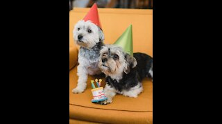 Pets for birthday party with lots of gifts