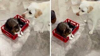 Dog pulls cat around the house on homemade indoor sleigh