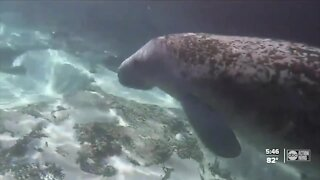 Florida breaks manatee death record in first 6 months