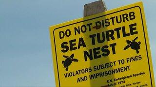 Sea turtle's nest on Hutchinson Island earliest on record