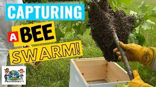 The Secret Lives of Bees- Part 1 Capturing a Swarm