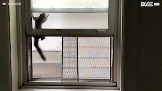 Scoiattolo in trappola tra la finestra e la zanzariera
