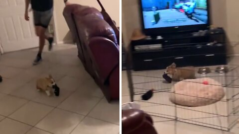 Tiny corgi puppy absolutely loves being chased