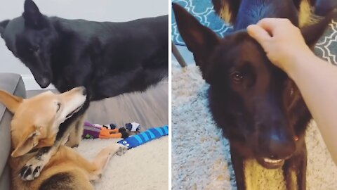 Elderly dog not too thrilled with new puppy addition