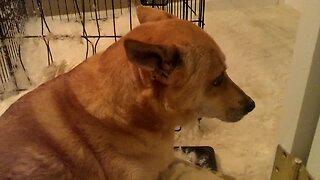 Guilty Dog Won't Look at Owner – LOL
