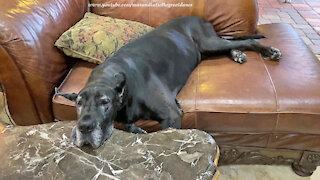 Sleepy Great Dane has an odd way of relaxing