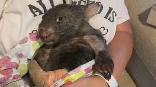 Wombat makes full recovery after fox-attack