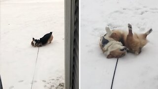 Cute little corgi is so excited to play in the snow