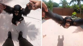 Playful Chimpanzee Absolutely Loves Swinging From His Hands
