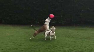 Disse hundene blir helt ville av en ballong