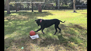 Playful Great Danes Prefer Jolly Ball Fun To Newspaper Delivery