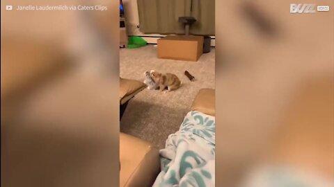 Coelhinho adora brincar com... um coelho de peluche!