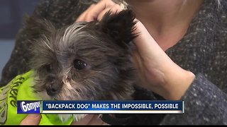 Dog found in backpack is making the impossible, possible
