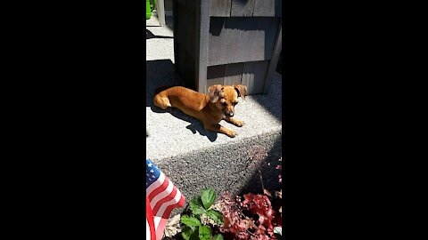 Loki the Chiweenie - Doing his favorite thing - Relaxing in the sun!