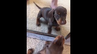 Puppy's reaction to mirror reflection will melt your heart