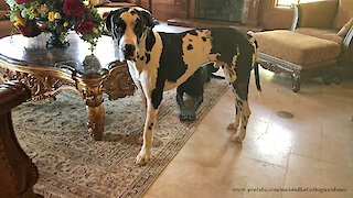 Hilarious Howling Harlequin Great Dane Will Make You Laugh