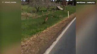 Canguru acompanha ciclista durante percurso
