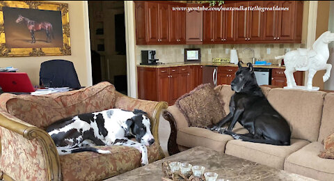 Comfy Great Danes Relax Like Bookends Together
