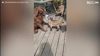Cadela dá mamadeira para filhote de bode