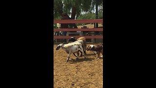 Australian Shepherd aces his instinct herding test