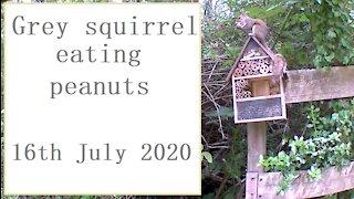 Grey squirrel eating peanuts at the nut-hut