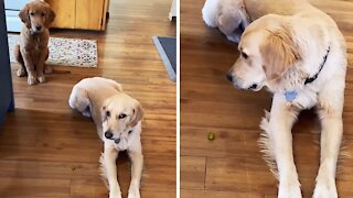 Epic pickle power struggle takes place between two doggies