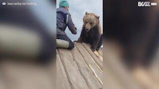 Urso detesta ser escovado!