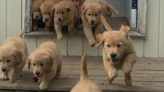 Overjoyed golden retriever puppies flow like a river of cuteness into back yard