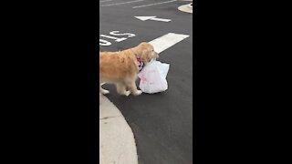 Golden Retriever delivers food for curbside pickup