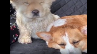 Sleepy dog naps on top of his best friend